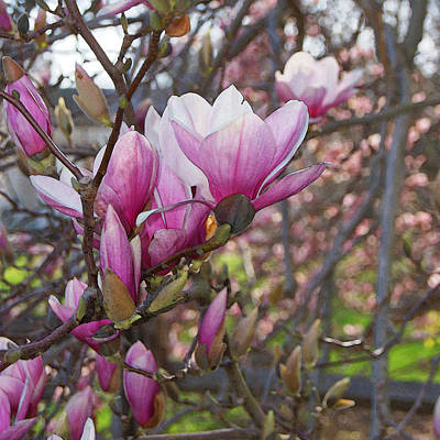 Photograph - Pink Magnolias On Parade by Margie Avellino