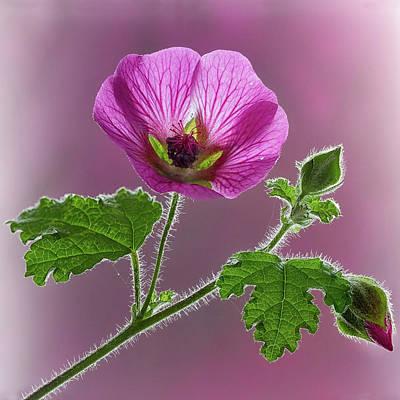 Pink Mallow Flower Art Print