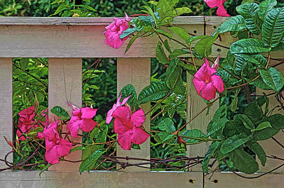 Photograph - Pink Mandevilla by HH Photography of Florida
