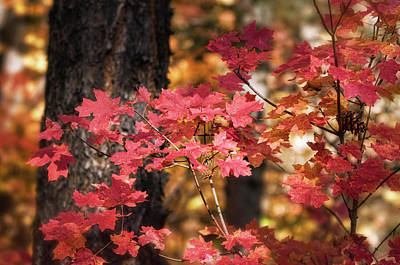 Photograph - Pink Maple  by Saija Lehtonen