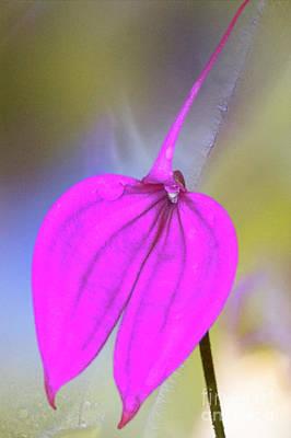 Photograph - Pink Masdevallia Orchid by Heiko Koehrer-Wagner