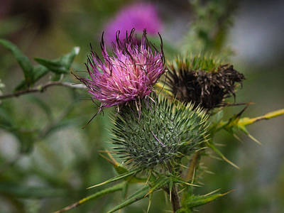 Photograph - Pink Milk Thistle Flowerhead by Robin Zygelman