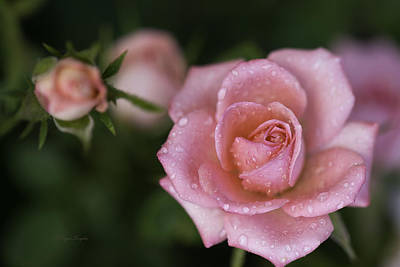 Photograph - Pink Miniature Roses 3 by Roger Snyder