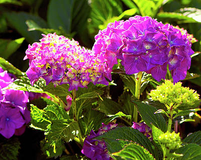 Photograph - Pink Mophead Hydrangea Lit by Sharon Talson