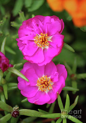 Photograph - Pink Moss Roses by Karen Adams
