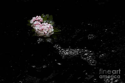 Photograph - Pink Mountain Laurel Flower Floating In River by Dan Friend