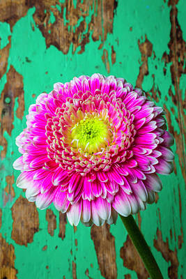 Gerbera Daisy Photograph - Pink Mum Green Wall by Garry Gay