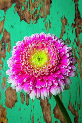 Gerbera Photograph - Pink Mum Green Wall by Garry Gay