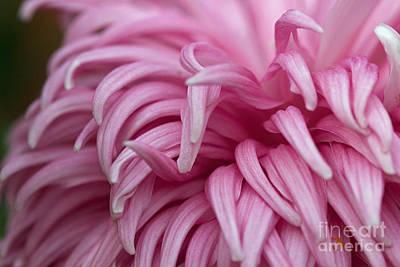 Photograph - Pink Mum by Jim Gillen