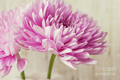 Flowers Photograph - Pink Mums IIi by Erin Johnson