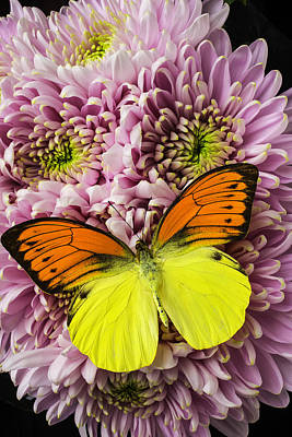 Pink Mums Yellow And Orange Butterfly Art Print by Garry Gay
