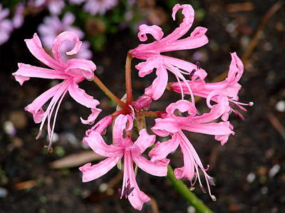 Guernsey Lily Photograph - Pink Nerine by Ed Mosier