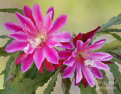 Photograph - Pink Epiphyllum Lily by Myrna Bradshaw