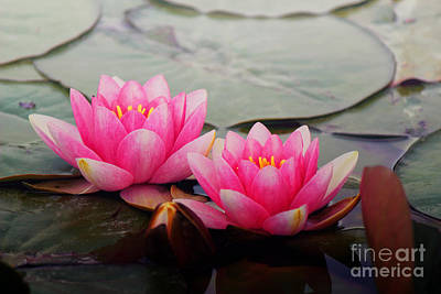 Photograph - Pink Nympheas by Jackie Farnsworth