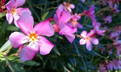 Photograph - Pink Oleander by Adam Johnson