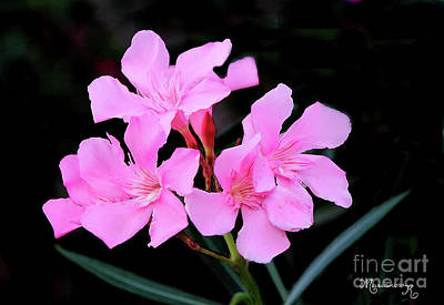 Photograph - Pink Oleander by Mariarosa Rockefeller