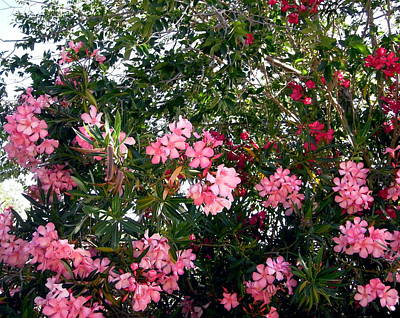 Photograph - Pink Oleanders by Stephanie Moore