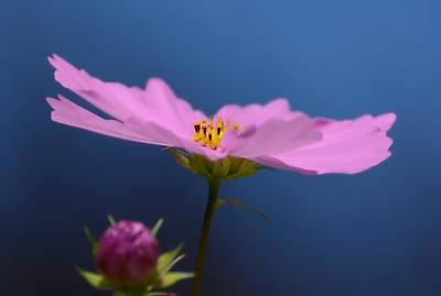 Photograph - Pink On Blue by Fraida Gutovich