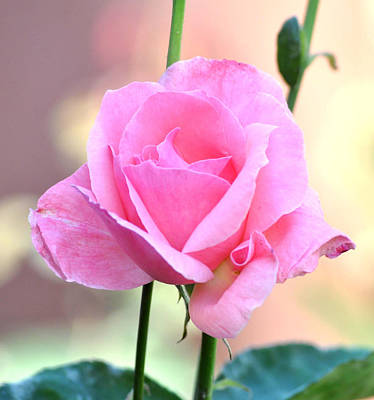 Photograph - Pink On Pink Rose by Jay Milo