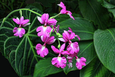 Photograph - Pink Oncidium   by HH Photography of Florida