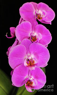 Photograph - Pink Orchid Against A Black Background by Andy Myatt