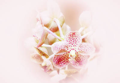 Photograph - Pink Orchid by Joseph Hollingsworth