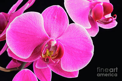 Photograph - Pink Orchid by Verena Matthew