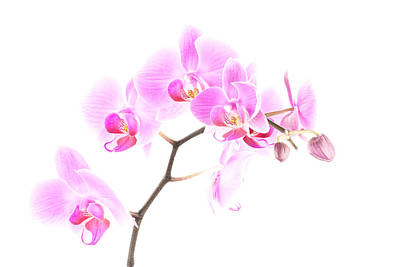 Photograph - Pink Orchids 1 by  Onyonet  Photo Studios