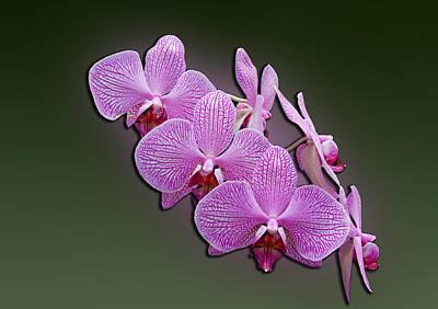 Pink Orchids Art Print by John Haldane