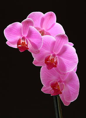 Pink Orchids Art Print by Juergen Roth