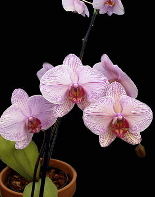 Flowers Photograph - Pink Orchids by Kurt Van Wagner