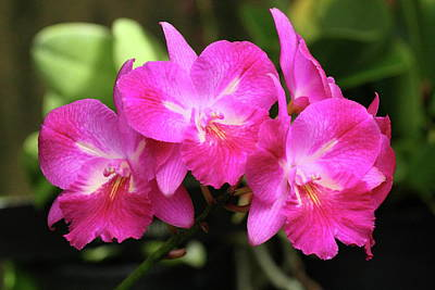 Photograph - Pink Orchids by Lou Ford