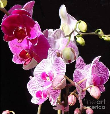 Photograph - Pink Orchids On Black by Janette Boyd