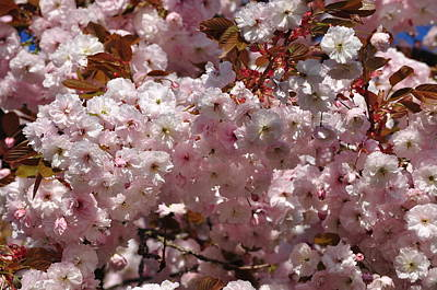 Photograph - Pink Ornamental Cherry Blossoms Prunus Serrulata Shirofugen by Martin Stankewitz