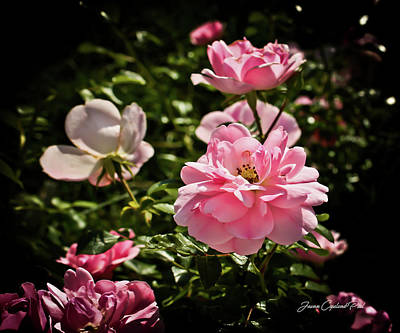 Photograph - Pink Passion  by Joann Copeland-Paul
