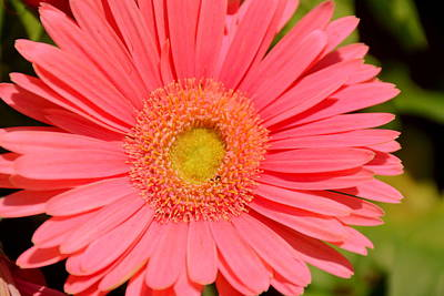 Gerber Daisy Photograph - Pink Passion by Lisa Wooten