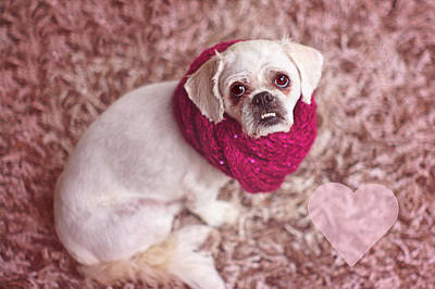 Photograph - Pink Pekingese by Suzanne Powers