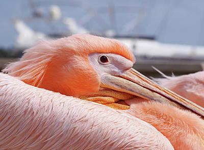 Pink Pelican In The Harbour Art Print