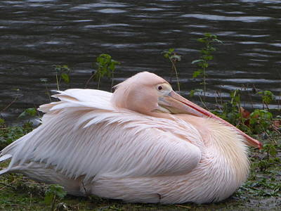 Pink Pelican Art Print by Margaret Brooks