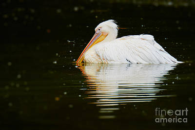 Photograph - Pink Pelican by Nick  Biemans