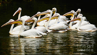 Photograph - Pink Pelicans Close Together by Nick  Biemans