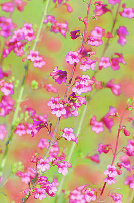 Photograph - Pink Penstemon  by Saija Lehtonen