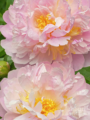 Photograph - Pink Peonies by Stephen Shub
