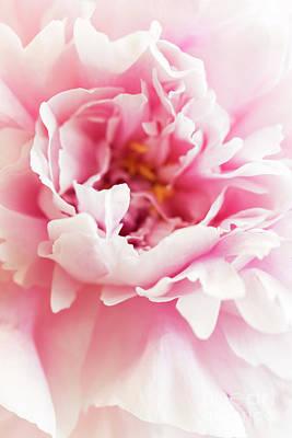 Photograph - Pink Peony 2 by Elena Nosyreva