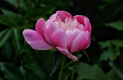 Photograph - Pink Peony by Chris Berrier
