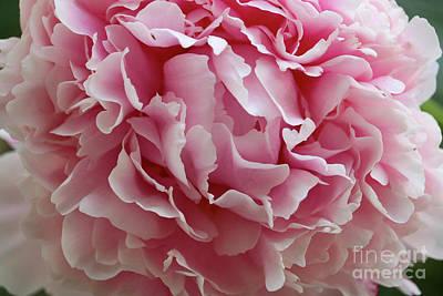 Photograph - Pink Peony Closeup by Carol Groenen