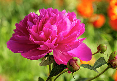 Photograph - Pink Peony Flower Blossom by Teri Virbickis