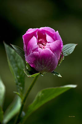 Photograph - Pink Peony Flower by Christina Rollo