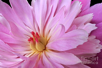 Stamen Photograph - Pink Peony Flower by Edward Fielding
