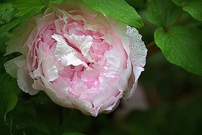Photograph - Pink Peony by Joseph Skompski